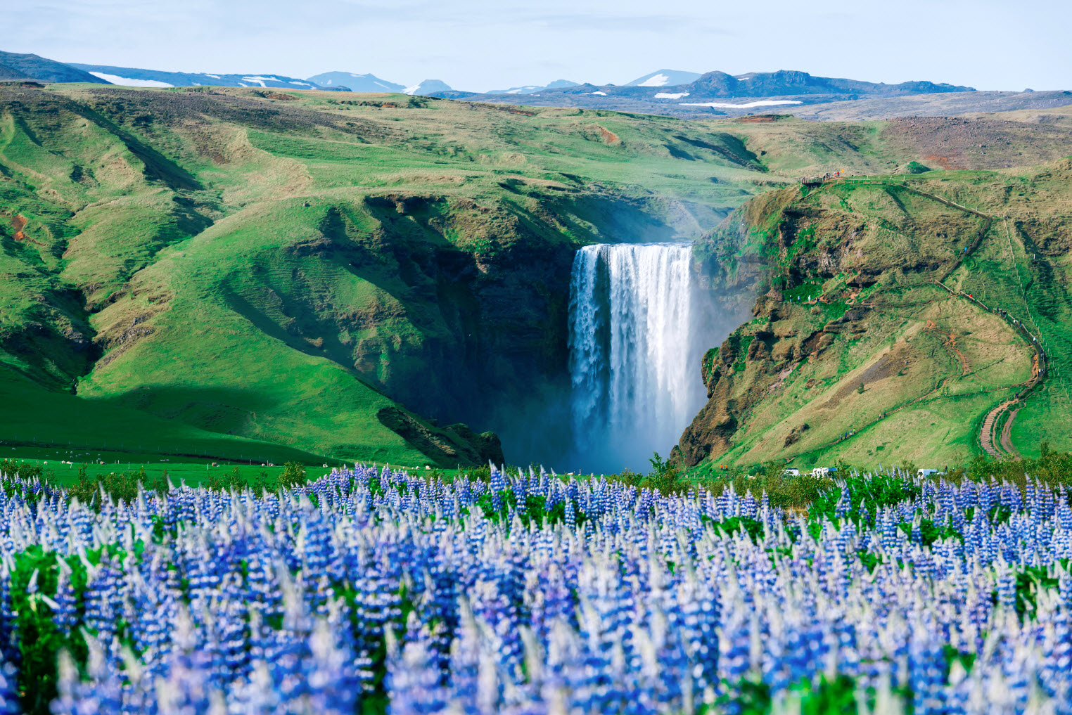 Skógafoss in July with Nootka lupine in front.