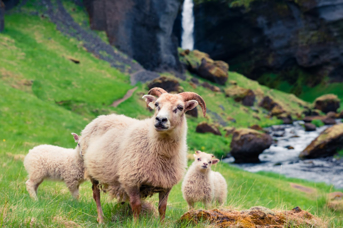 The Icelandic sheep lives close to Kvernufoss during the summer in Iceland