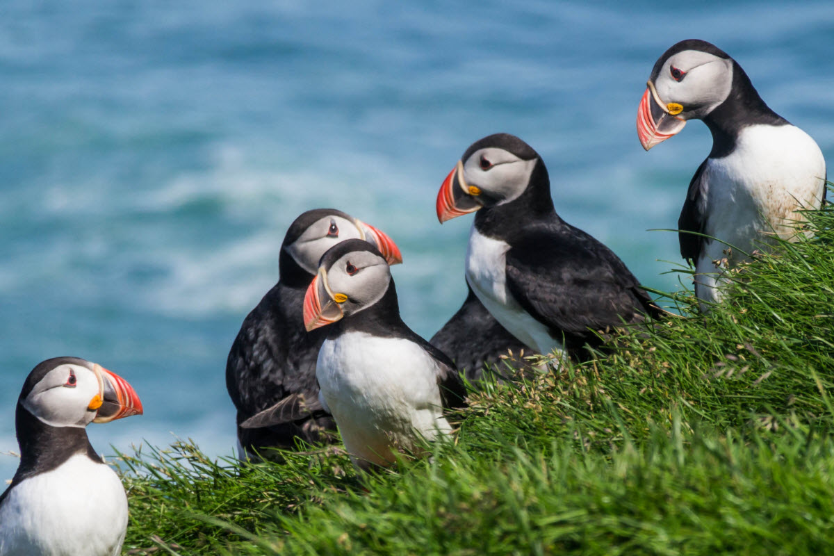 Dyrholey is a nesting place for the famous puffin and other seabirds from late April to early September
