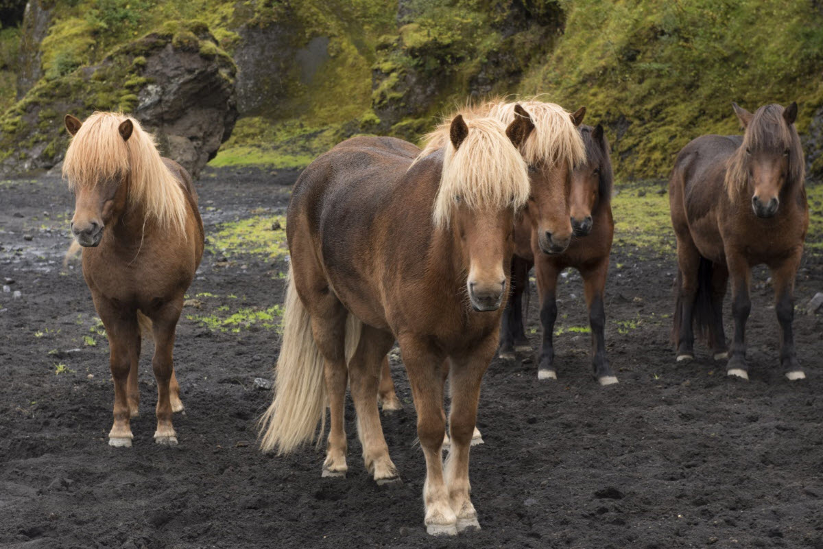 The Icelandic horse in Thorsmork the highlands of Iceland