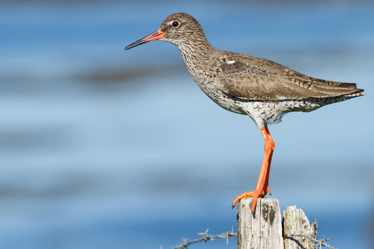 Redshank bird in Flatey island