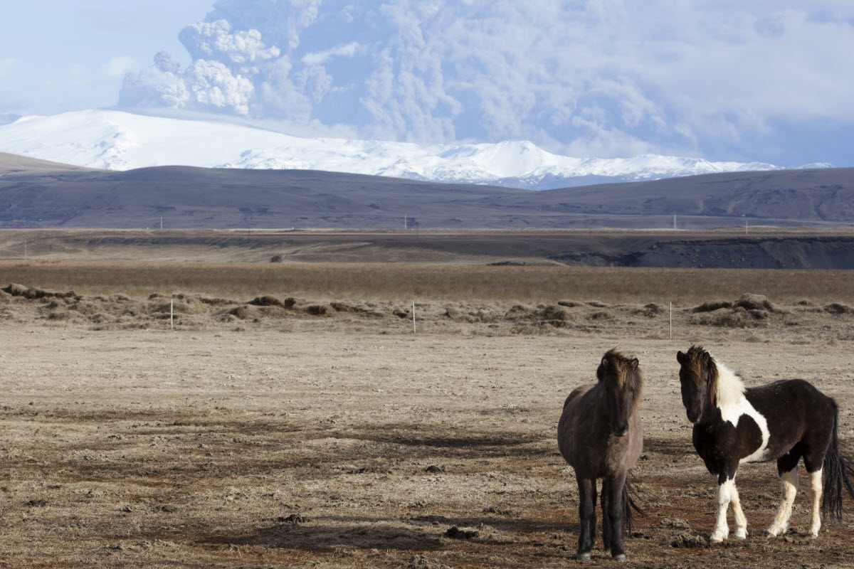 Icelandic horses and the eruption in Eyjafjallajokull in 2010