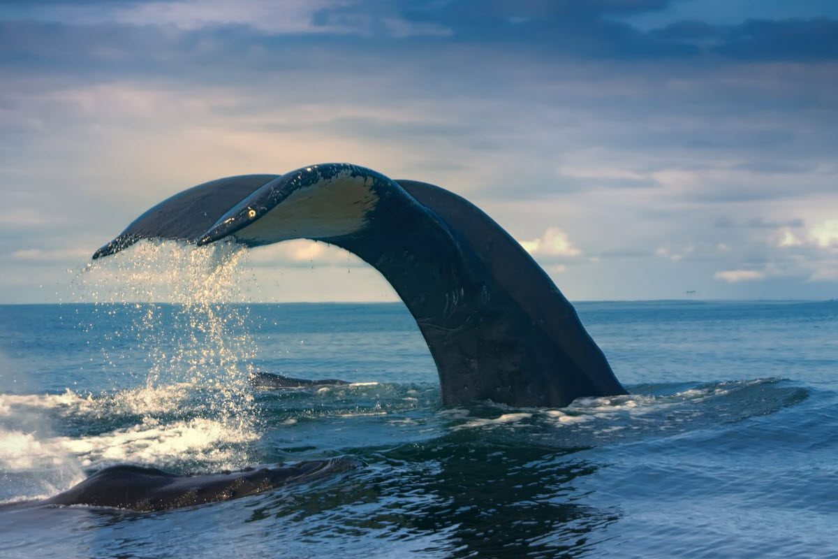 It is possible to see many different kind of whales in Húsavík