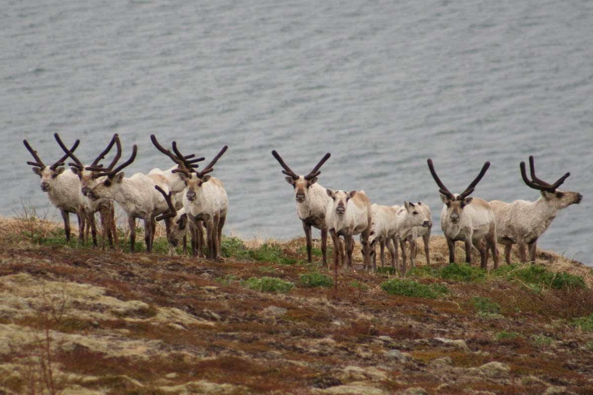 You might spot some reindeer's in the east part of Iceland