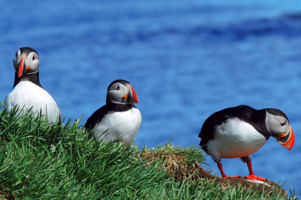 Borgarfjörður is a good place for bird watching especially to see the Puffin from a short range