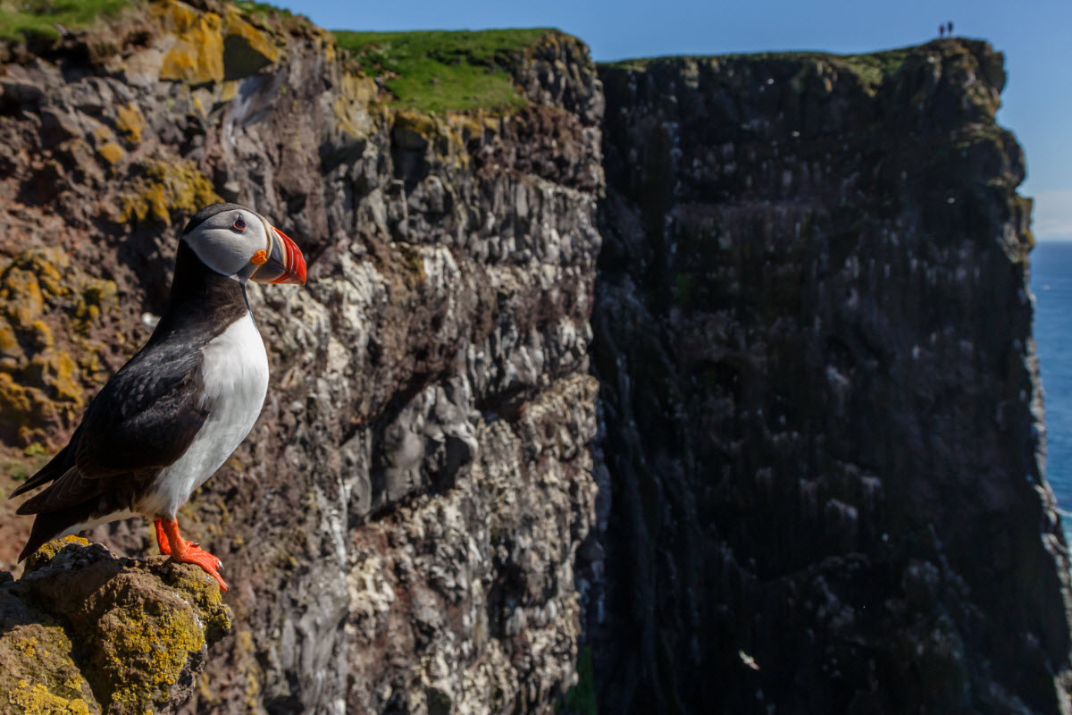 Puffin sitting in the cliffs at Látrabjarg in the Westfjords