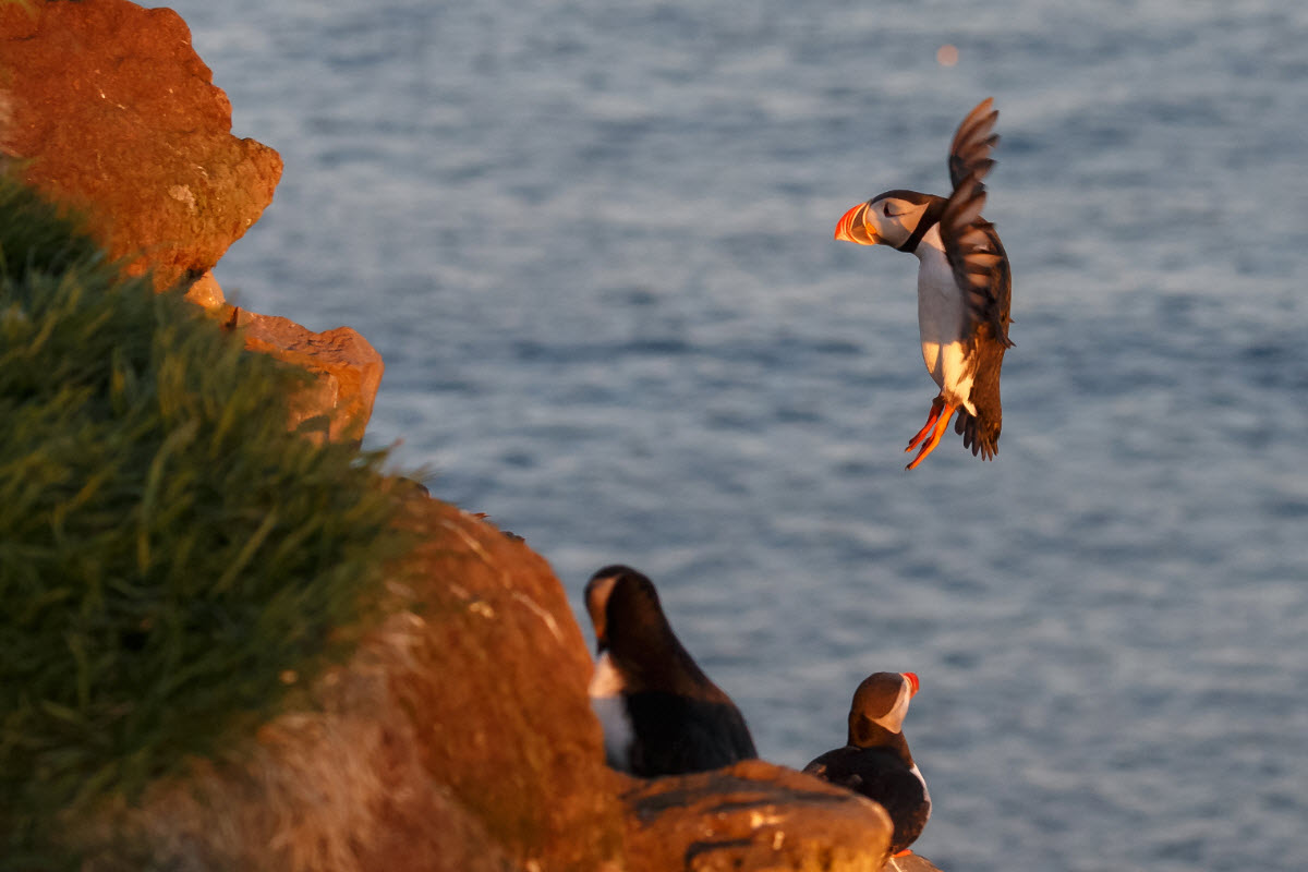 Latrabjarg cliffs are one of the largest bird colony in Europe