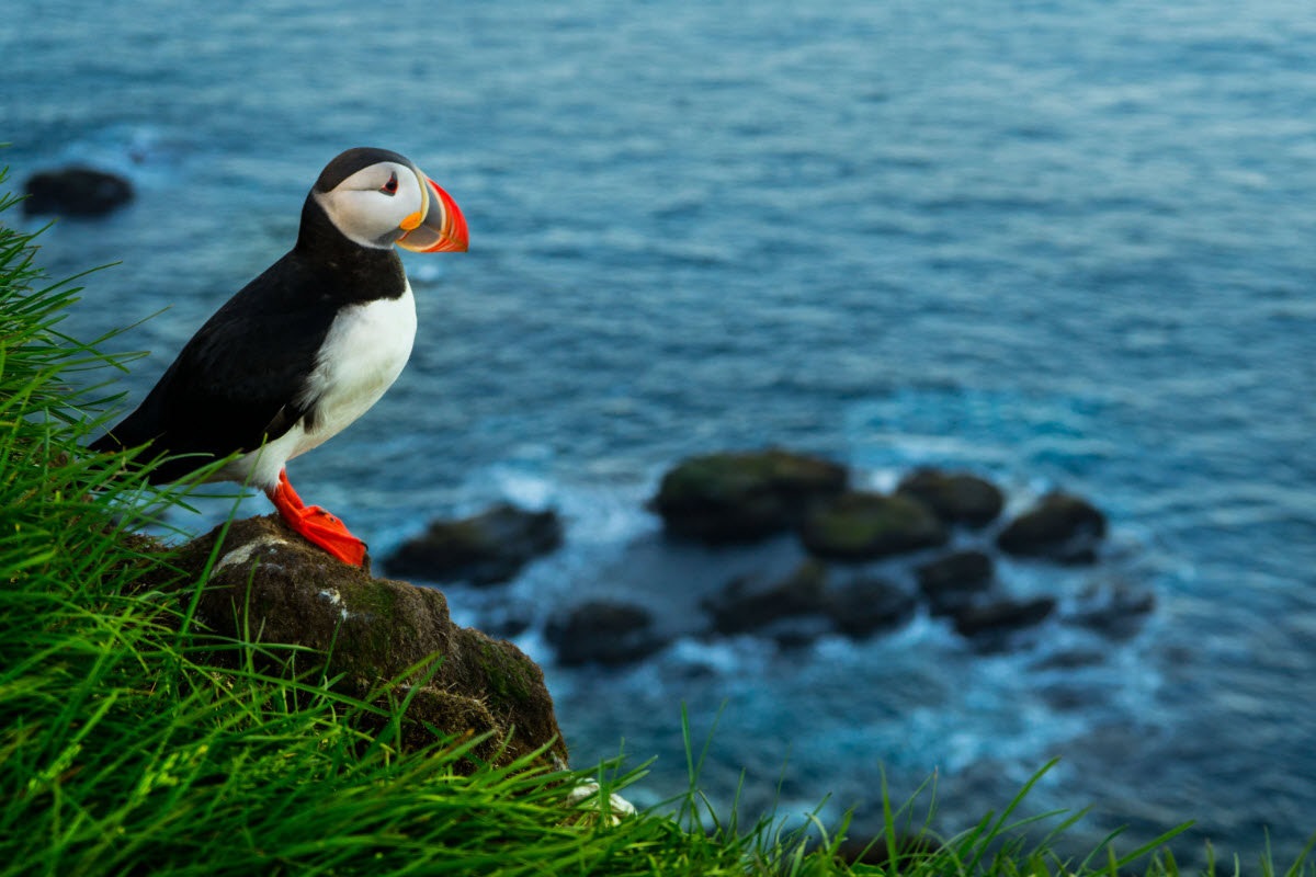 You can spot the puffin in Iceland from mid May until late August