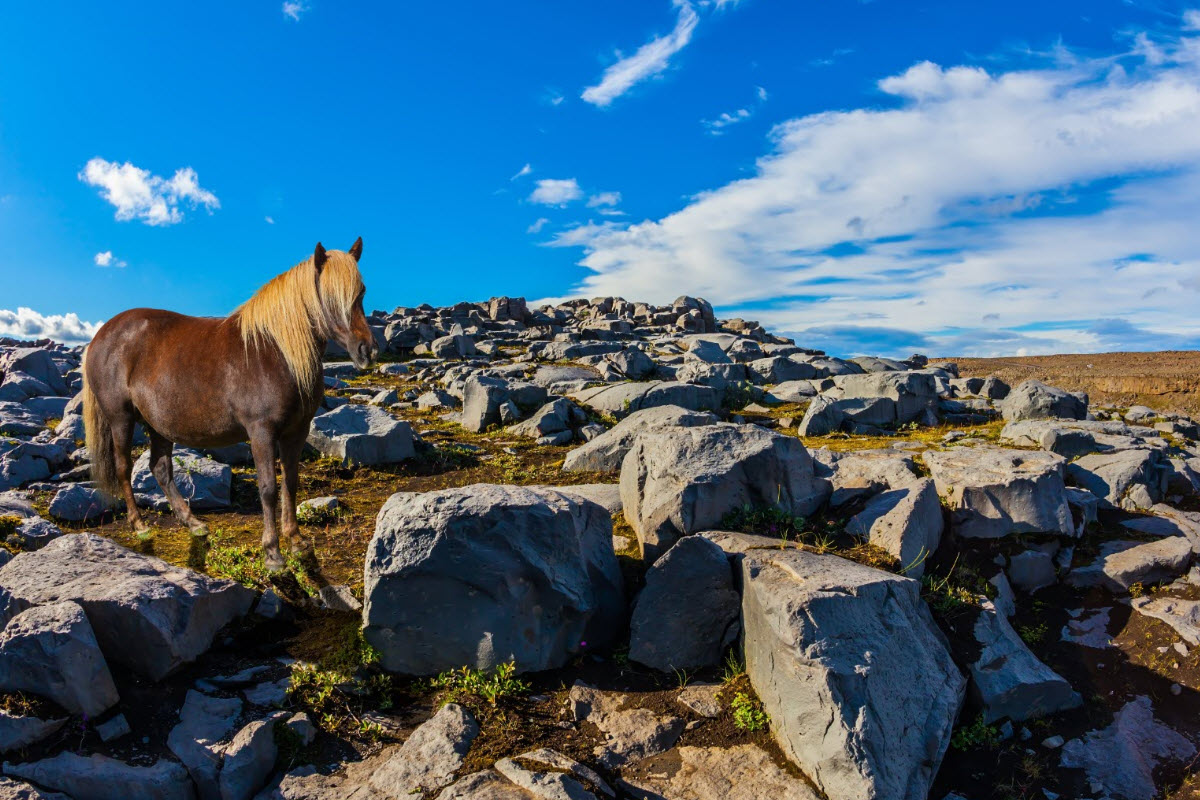 The Icelandic Horse - thumbnail