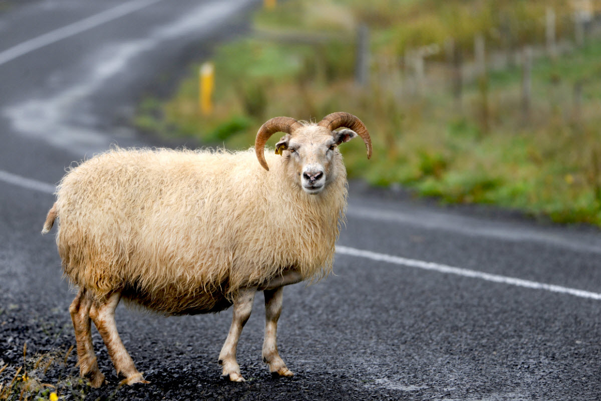 What Are The Natural Colors Of Sheep