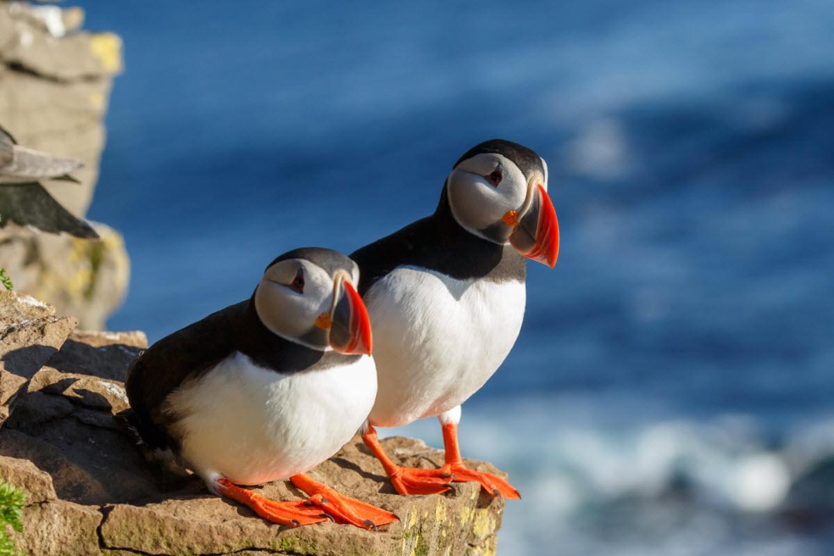 Birds Of Iceland Birdwatching In Iceland